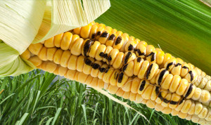gmo-corn-word-735-300-735x300цц